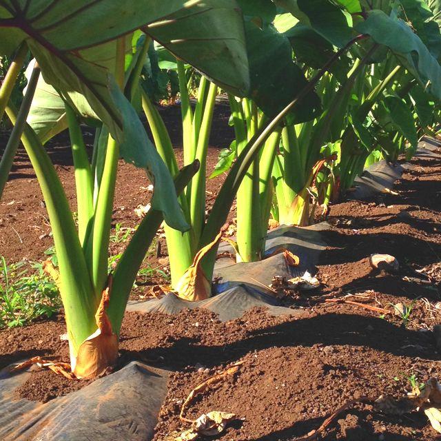 Taro Plant Seeds, Vegetable Seeds, 100pcs/pack