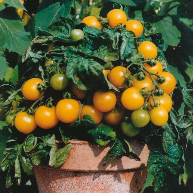 Red & Yellow Bonsai Tomato Seeds, 200pcs/pack