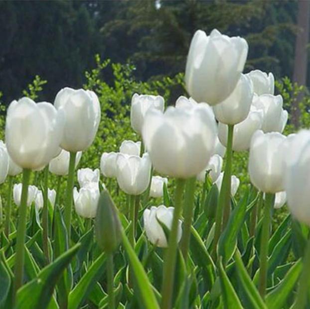 Multi-Varieties Tulip seeds, Tulipa Gesneriana, 100pcs/pack