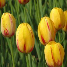 Multi-Varieties Tulip Seeds, Double Petals Tulip Seeds, 100pcs/pack