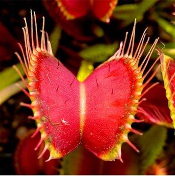 Insectivorous Plant Seeds, Dionaea Muscipula, Venus Flytrap Seeds, 100pcs/pack