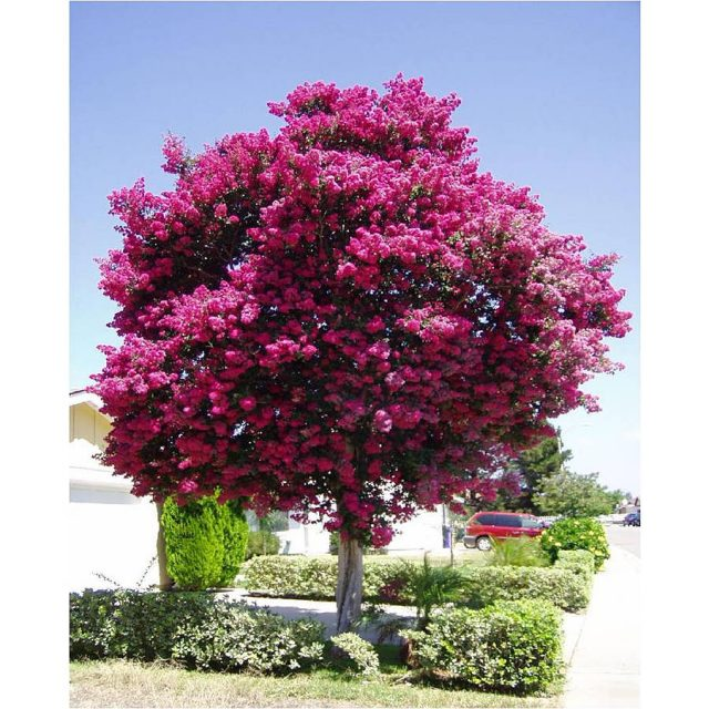 Crape Myrtle Tree Seeds 100pcs/pack