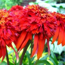 Red Echinacea Seeds, 100pcs/pack
