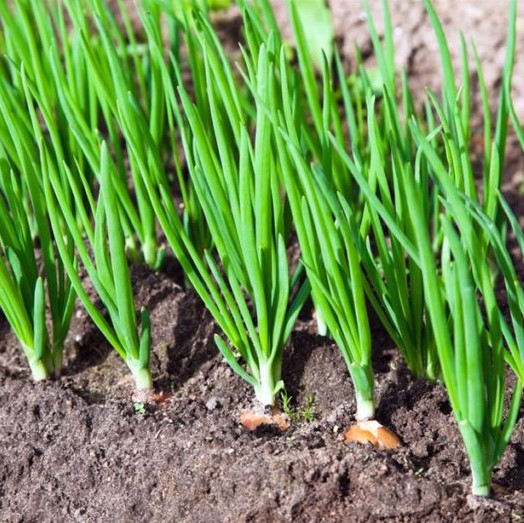 Spring Onion Seeds, Green Onion Seeds,Vegetable Seeds, 100pcs/pack