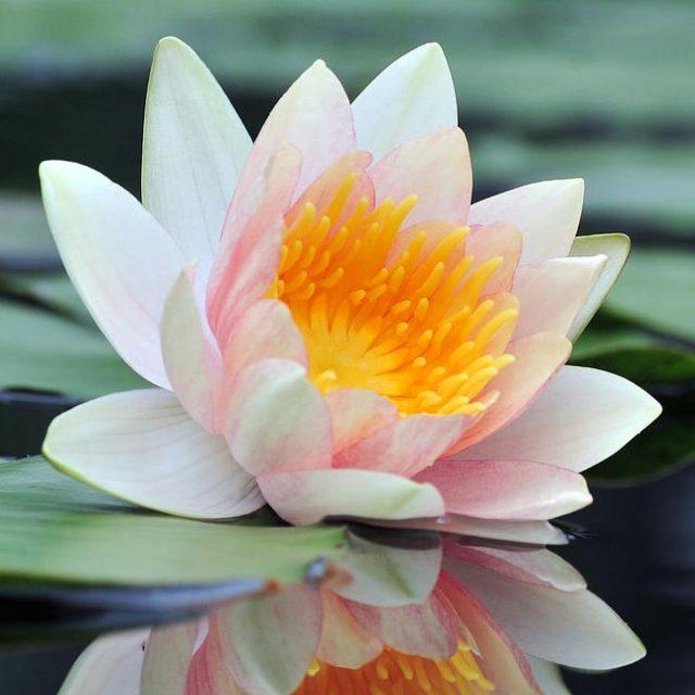 10pcs/bag lotus flower lotus seeds Aquatic plants bowl lotus water lily seeds Perennial Plant for home garden.