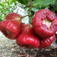 Rose Apple Seeds, Fruit Seeds, 50pcs/pack