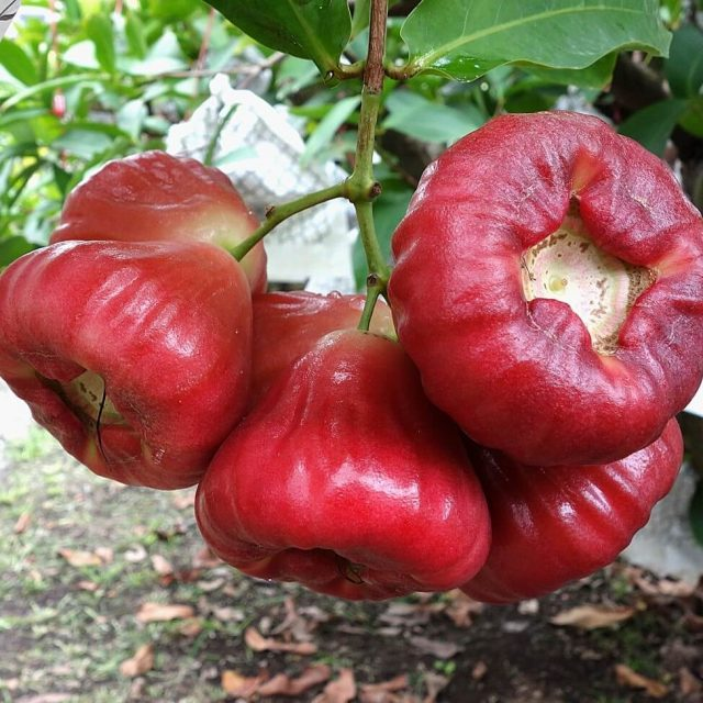 Rose Apple Seeds, Fruit Seeds, 50pcs/pack