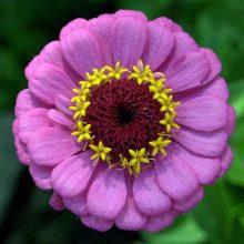 Mixed Color Zinnia Seeds, 100pcs/pack