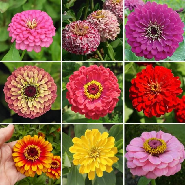 Multi-Color Zinnia Seeds, 100 Pcs/Pack