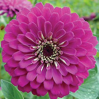 Mixed Color Zinnia Seeds, 100pcs/pack