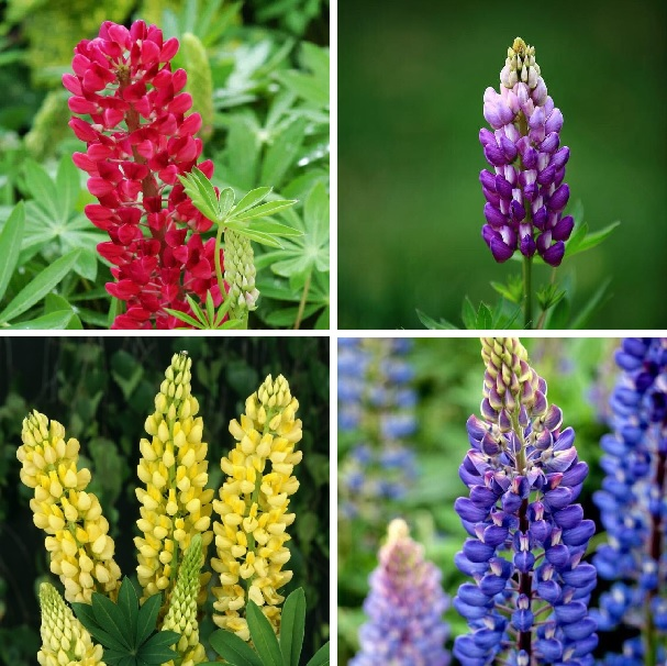 Multi-Color Lupine Flower Seeds, 100pcs/pack